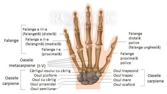 articulațiile mâinii drepte și încheietura mâinii)
