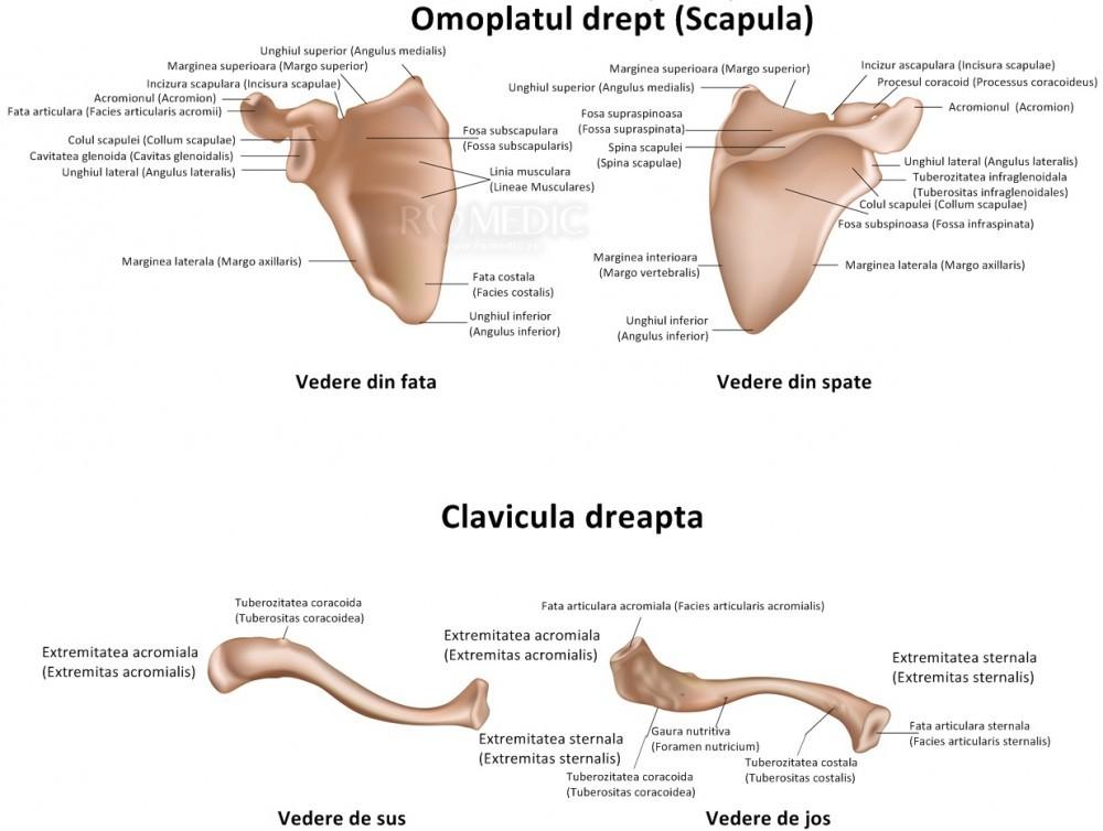 falsă articulație a istoricului medical humerus cum se tratează inflamația tendoanelor tratamentului articulațiilor umărului