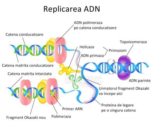 Replicarea ADN