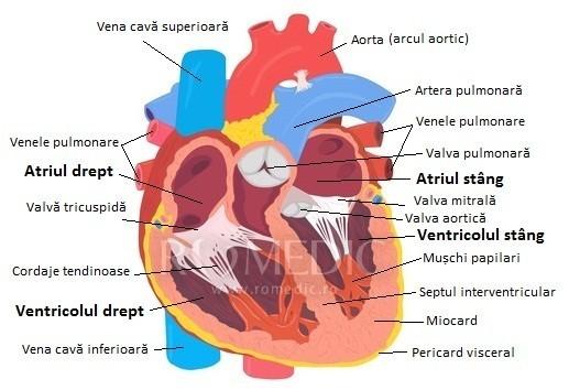 Inima - structura