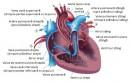Inima - debitul cardiac si dinamica circulatiei sangelui la nivelul inimii