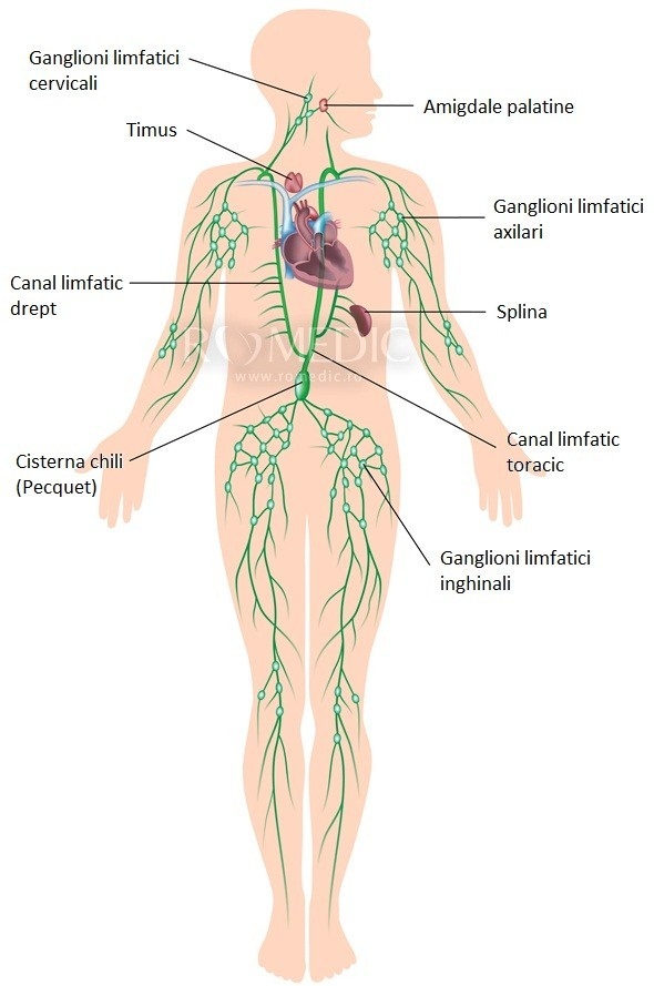 sistemul limfatic la om)