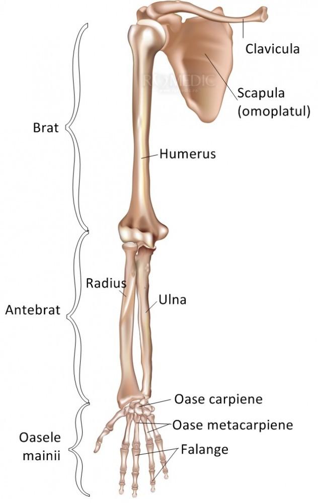 numeste tipul de articulare a oaselor membrului superior de ce se frământă genunchii