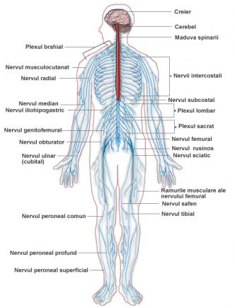 Schema sistem nervos periferic si central