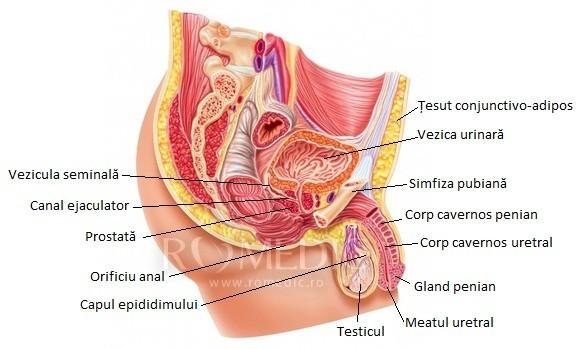 structura masculina a penisului)