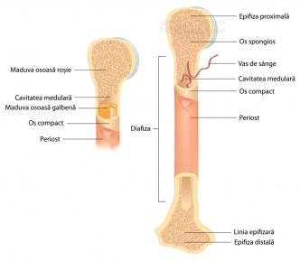 Anatomia osului