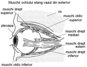 Boli ale mușchilor oculari: aspect rigid