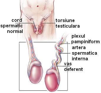 penisului și testiculelor