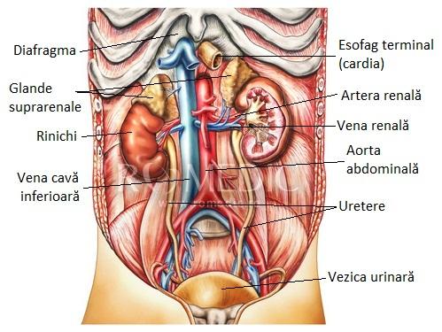 Dimensiuni normale prostată