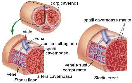 structura erecției penisului